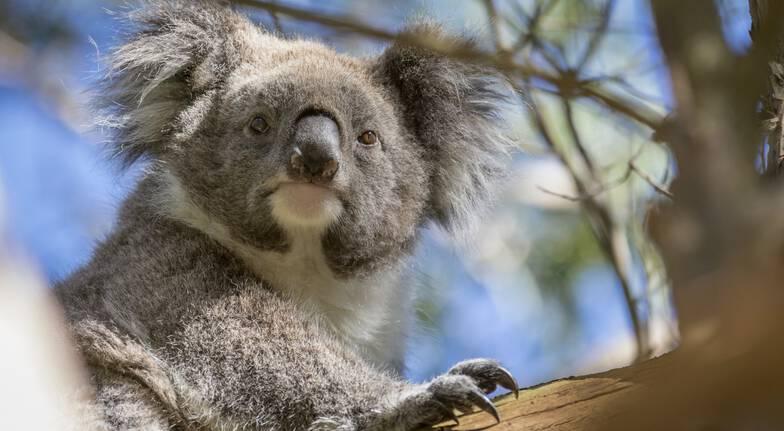 Penguin Parade and Koala Highlights Tour - For 2
