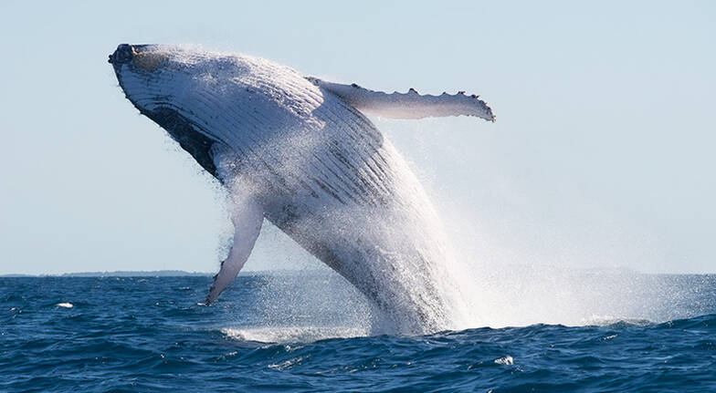Mooloolaba Whale Watching Cruise  90 Minutes