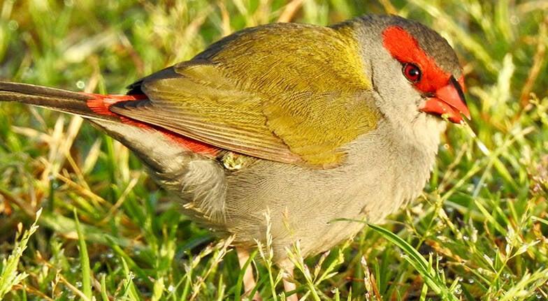 Sydney Bush to Wetland Birdwatching Tour  4 Hours