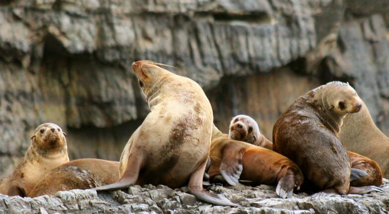seals on rocks off the coast of tasman island