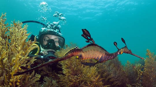 Scuba Diving with Sea Dragons - Non Certified Divers