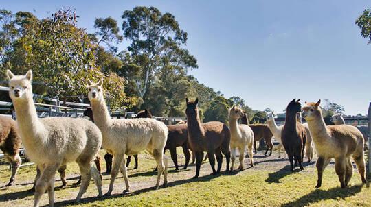 Iris Lodge Alpaca Farm Visit - 90 Minutes