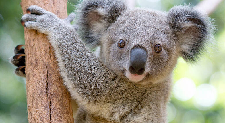 Currumbin Wildlife Sanctuary Entry with Koala Photo