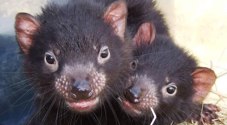 Tasmanian Devil Encounter with Shared Platter  60 Minutes