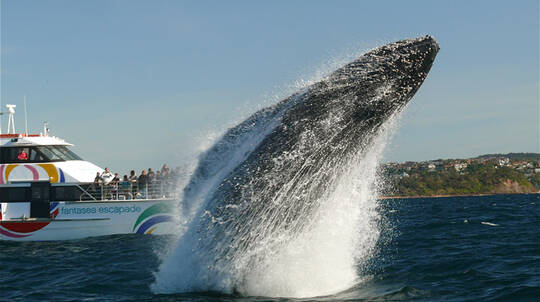 Sydney Harbour Whale Watching Cruise - Weekend