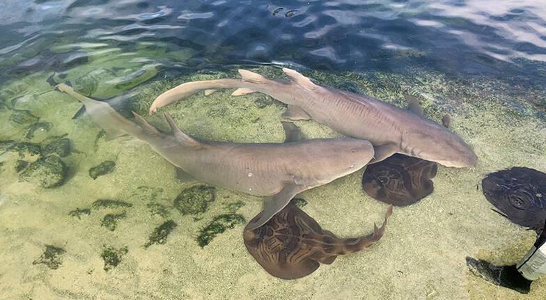 Irukandji Shark and Ray Encounters Entry with Shark Feeding