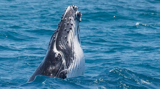 Swim with Humpback Whales with Photos