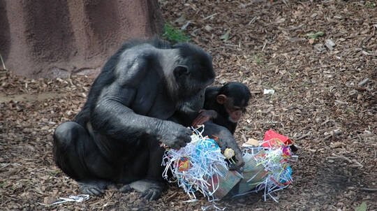 Chimps Encounter at Monarto Safari Park