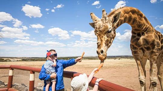 Giraffe Safari at Monarto Zoo