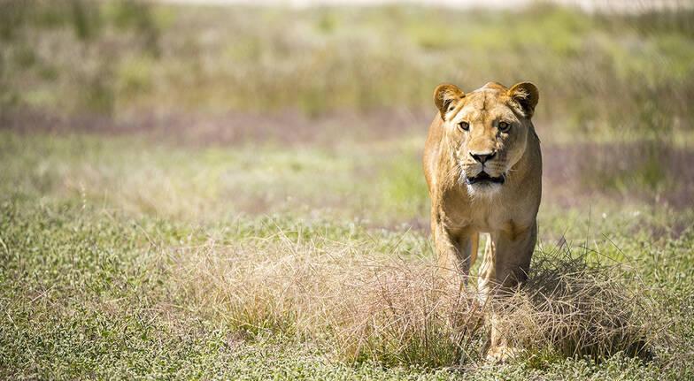 Lions at Bedtime - Monarto Safari Park