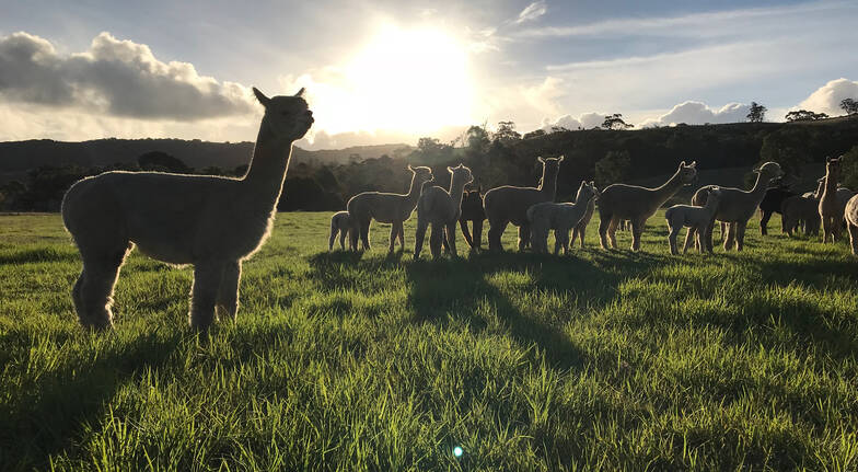 Softfoot Sanctuary Alpaca Farm Tour - 2 Hours