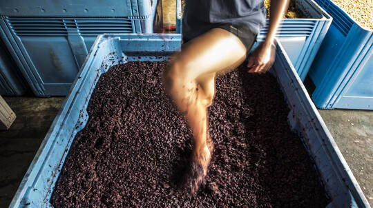 Harvest Grape Stomping with Bottle of Wine