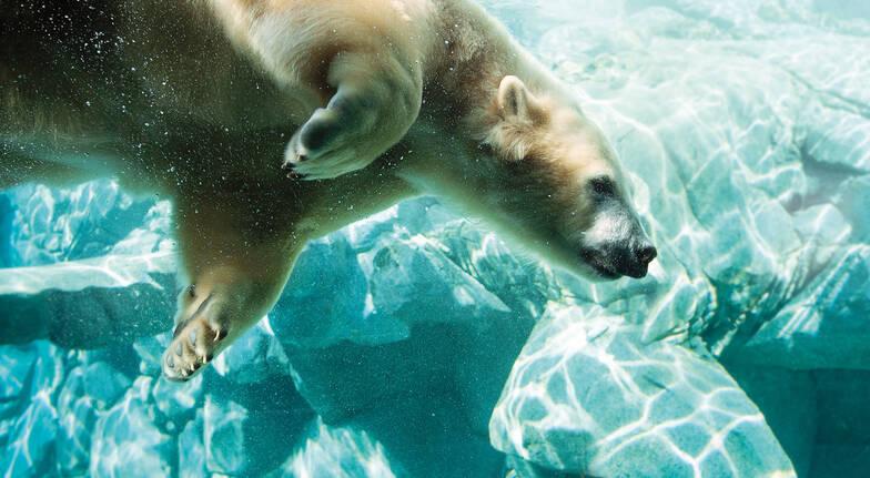 polar bear swimming sea world gold coast