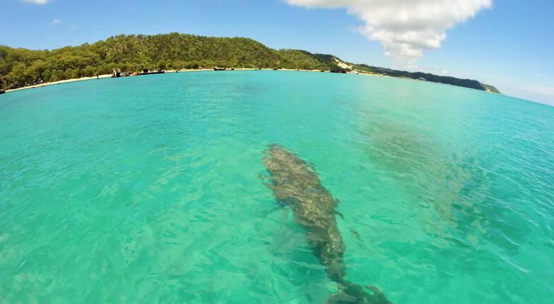 dolphin swimming in ocean tangalooma wrecks