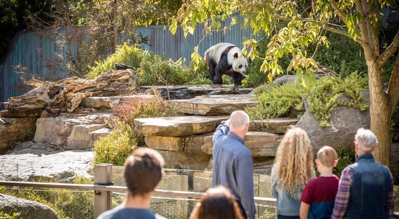 Panda Encounter at Adelaide Zoo