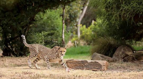 Cheetah Encounter at Werribee Open Range Zoo