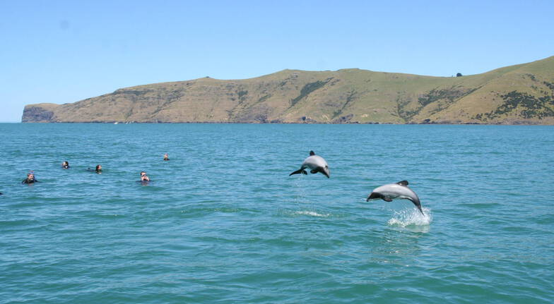 Swim with Hectors Dolphins in Akaroa Harbour