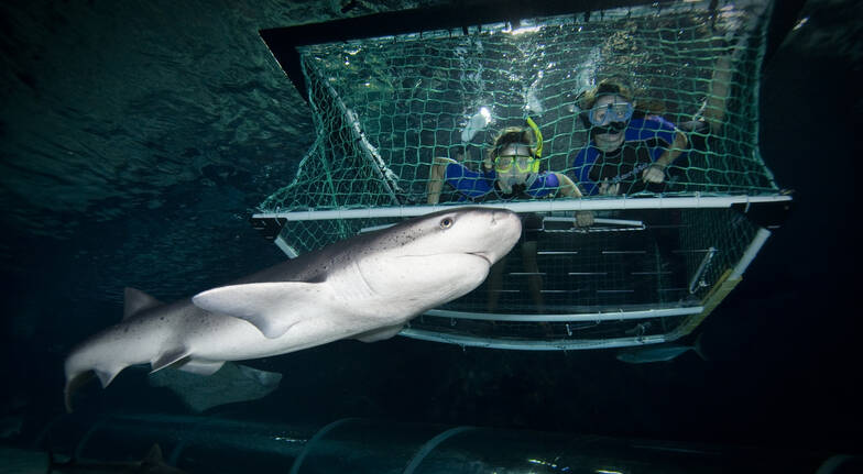 Shark Snorkeling in a Cage